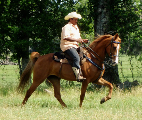 Tennessee Walking Horses Cloud 9 Walkers Tennessee - 500×420