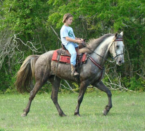 Tennessee Walking Horses Cloud 9 Walkers Tennessee - 500×452