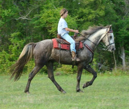 Tennessee Walking Horses Cloud 9 Walkers Tennessee - 500×422