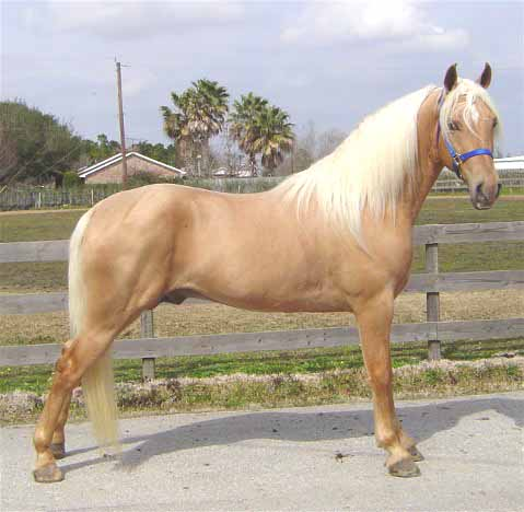 dappled palomino quarter horse