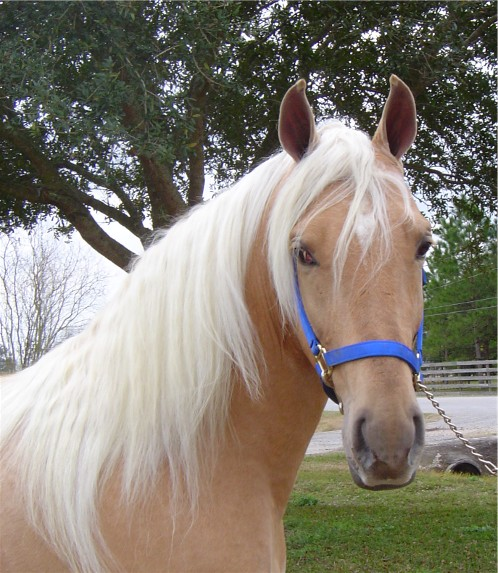 paint horses with blue eyes