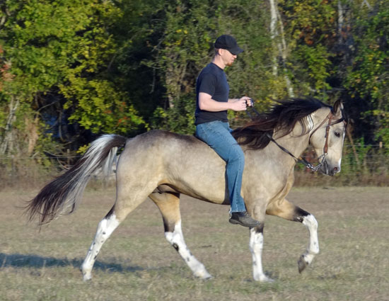 Tennessee Walking Horses Cloud 9 Walkers Horse Stallion